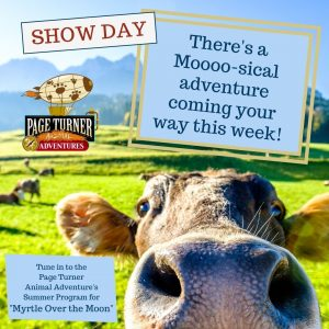 show day with cow